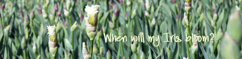 When-will-my-Iris-bloom-Eng