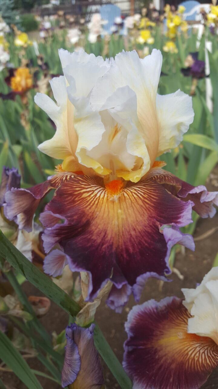 Care to dance all iris iris catalog iris4u iris garden izmirmasajfo Gallery